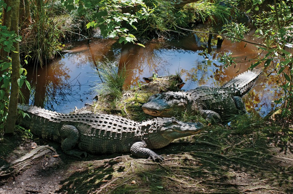 Alligators are among us. They live not just in the confines of the Swamp Park in Brunswick County  but in places frequented by humans, like Greenfield Lake in Wilmington. Allison Potter