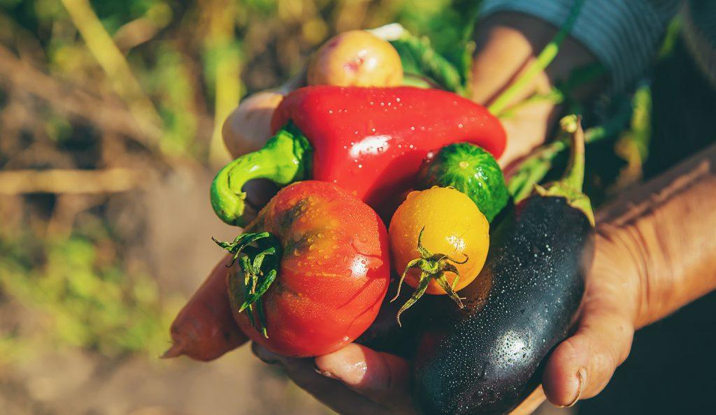 Grandmother in the garden with vegetables in her hands. Selective focus.