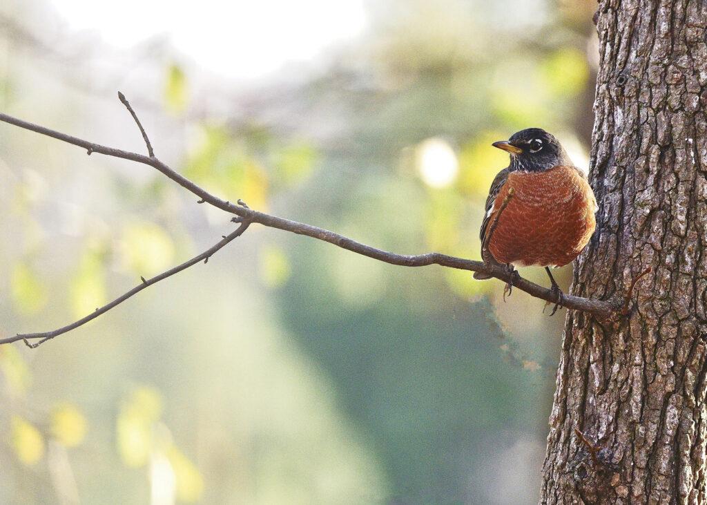 Robin in Winter by Jim Woodson.
